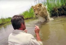 Man Who Rescued Two Lion Cubs Seven Years Ago Returns And Meets Them Face To Face