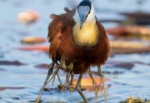 Protective Father Birds Hides His Chicks From Danger In Adorable Photos