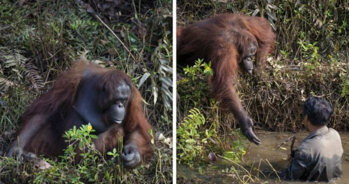 Photographer Captures An Orangutan Reaching Out To Help A Forest Warden In Borneo