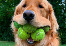 Dog Obsessed With Tennis Balls Breaks World Record For Amount Of Tennis Balls In His Mouth
