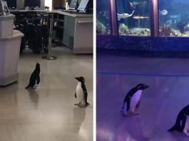 After Closing Down, This Aquarium Lets Its Penguins Go On A 'Field Trip'
