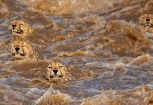 Photographers Get To Witness 5 Cheetahs Crossing A Flooded River Infested With Crocodiles