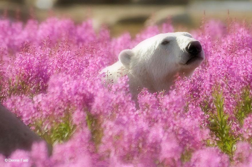 Slow & grateful polar bear