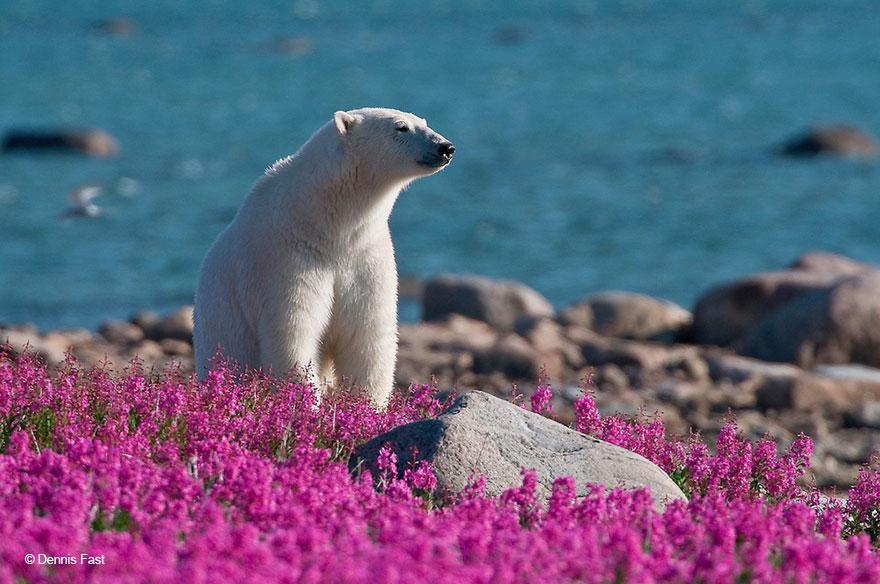 iconic as a polar bear