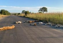 Lions Napping On South Africa's Roads During Quarantine