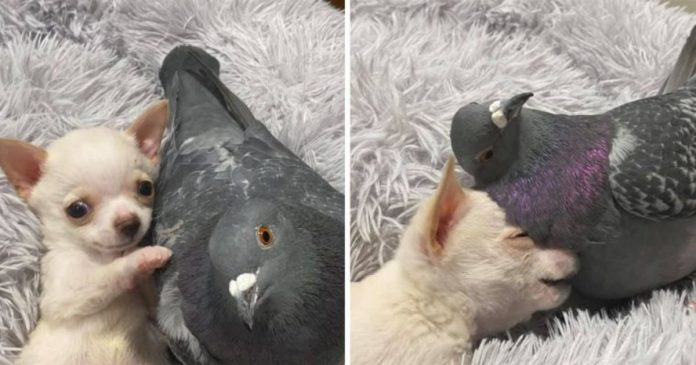 Pigeon Who Can't Fly And Chihuahua Who Can't Walk Becomes Besties