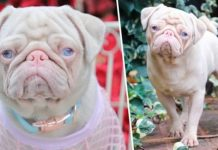 rare-pink-pug-called-milkshake-is-one-of-less-than-100-in-the-world