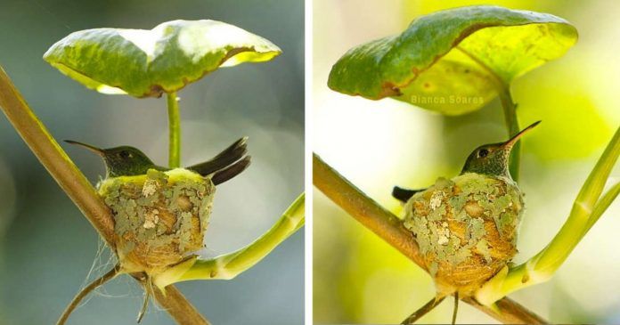 Genius Little Hummingbird Builds A Nest With A Roof