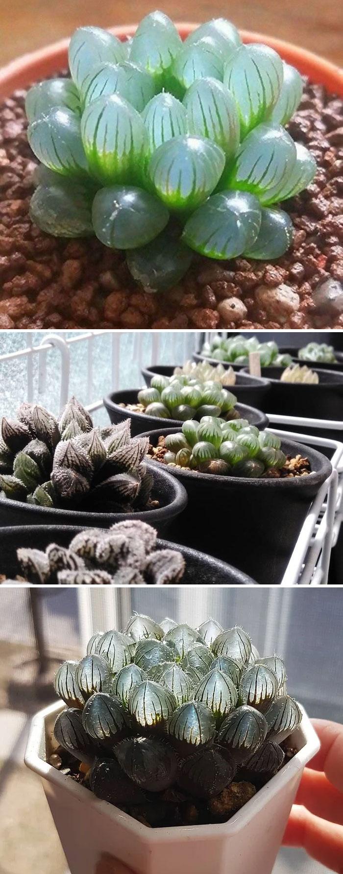 Clear Succulent Plant