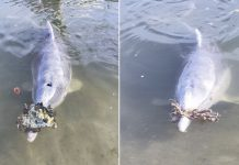 "Dolphin Named Mystique Brings Visitors ""Gifts"" From The Ocean"