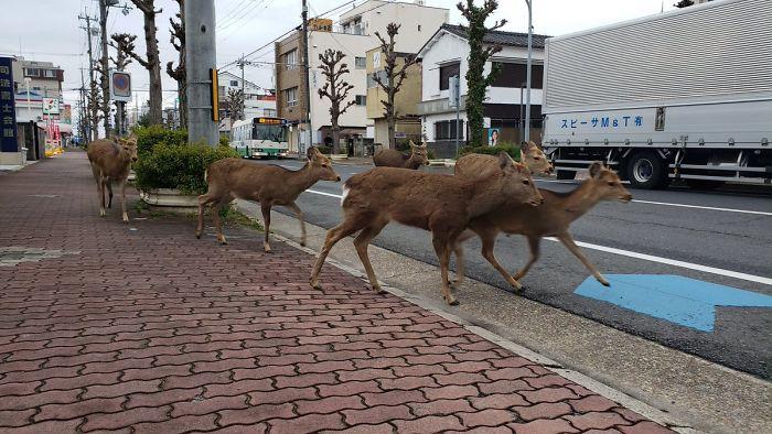 Sika deer on Nara streets