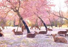 Deer Enjoy Cherry Blossoms Park In Nara Park, Japan