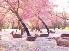 Deer Enjoy Cherry Blossoms Park In Nara Park, Japan