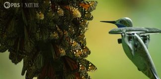 Drone Disguised As Hummingbird Captures Stunning Footage Of Monarch Butterfly Swarm