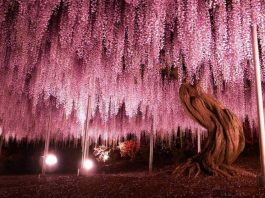 This 144-Year-Old Japanese Wisteria Looks Unreal
