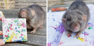 Miniature Paintings Created By Adorable Rats Are Sold Out