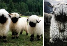 You Can Decide If These Sheep Are Cute Or Terrifying