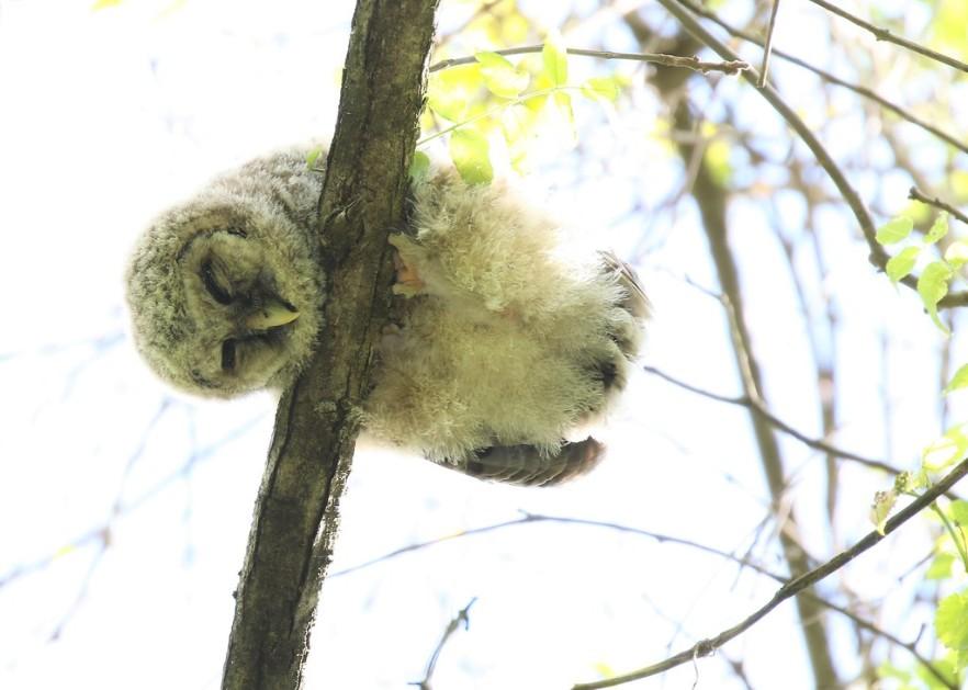 This cute owl is sleeping