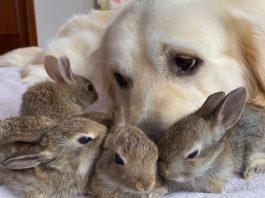 Adorable Bunnies Think Golden Retriever Is Their Dad