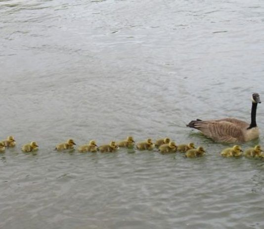 The Story Of An Adorable Goose Mom