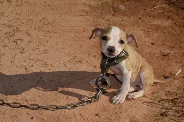 Chained little puppy