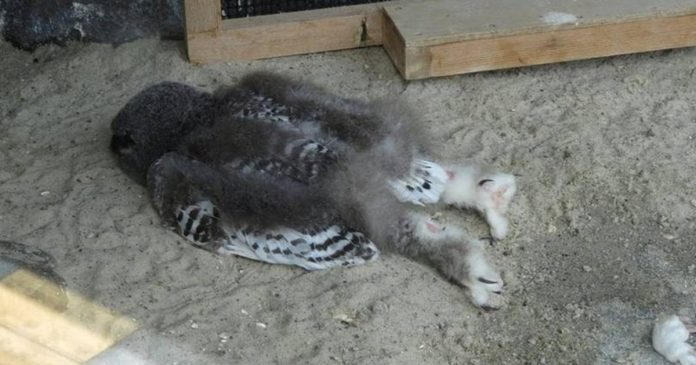 The Way Baby Owls Sleep Is Too Cute For This World