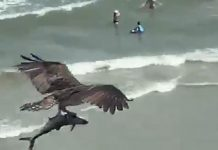 Video Of A Bird Carrying A Large Fish Goes Viral