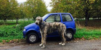If You Own An Irish Wolfhound, You Are One Of The Happiest People In The World