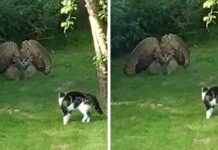 An Owl Scares A Cat With A Terrifying Display
