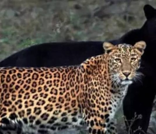 Wild-Life Photographer Releases Unseen Photos Of Leopard-Black Panther Couple