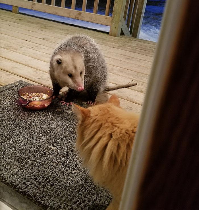 possum steals cat's food