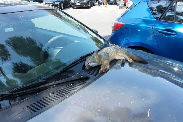shush fox