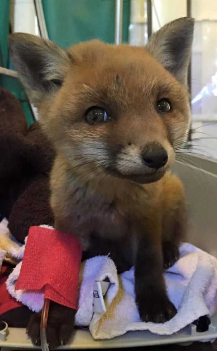Vet and fox