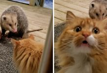 Possum Steals A Cute Looking Domestic Cat's Food