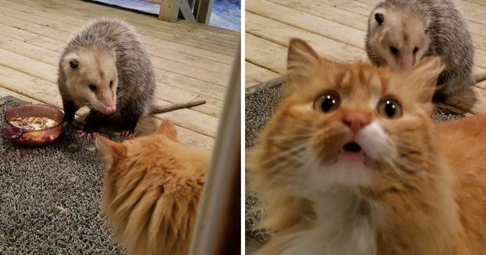Possum Steals A Cute Looking Domestic Cat's Food